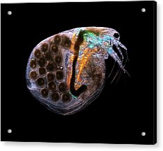 Water Flea Acrylic Print by Karl Gaff
