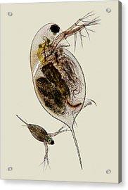 Water Fleas Acrylic Print