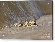 Water Frog Close Up  Acrylic Print