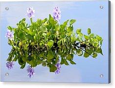 Water Hyacinth 1 Acrylic Print by Sheri McLeroy