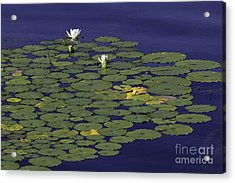 Acrylic Print featuring the photograph Water Lilies by Les Palenik