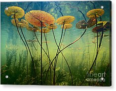 Water Lilies Acrylic Print by Frans Lanting MINT Images