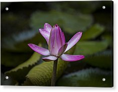 Water Lillies8 Acrylic Print