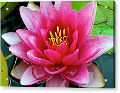 Water Lilly Acrylic Print by Frozen in Time Fine Art Photography