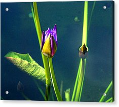 Water Lily 005 Acrylic Print