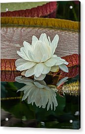 Lily Pond Acrylic Print by Phil Abrams