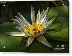 Water Lily 2 Acrylic Print by Rudi Prott