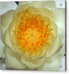 Water Lily 3  And A Reminder To Utter The Words Thank You.  Acrylic Print