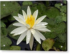 Acrylic Print featuring the photograph Water Lily 5 by David Lester