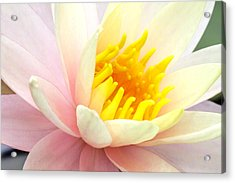 Acrylic Print featuring the photograph Water Lily 6 by David Lester