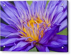 Acrylic Print featuring the photograph Water Lily 7 by David Lester