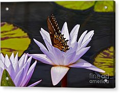 Water Lily And Swallowtail Butterfly Acrylic Print