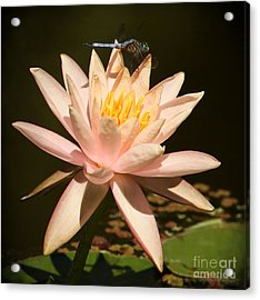 Water Lily And The Blue Dragonfly Acrylic Print by Sabrina L Ryan