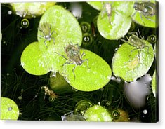 Water-lily Aphids On Duckweed Acrylic Print by Bob Gibbons