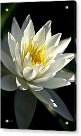 Water Lily Acrylic Print by Christina Rollo