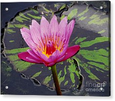 Water Lily Acrylic Print by Cynthia Merino