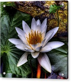 Water Lily Acrylic Print by David Patterson