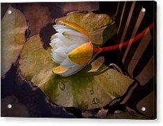 Water Lily Acrylic Print by Debra and Dave Vanderlaan
