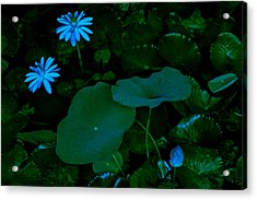Water Lily Acrylic Print by Donald Chen