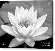 Water Lily In Black And White Acrylic Print