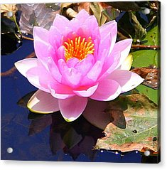 Water Lily In Pink Acrylic Print