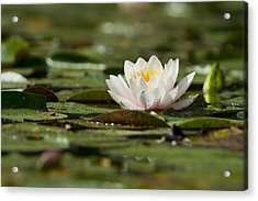 Water Lily Acrylic Print by Larry Bohlin