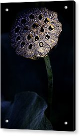 Water Lily Seed Pod Acrylic Print by Julie Palencia