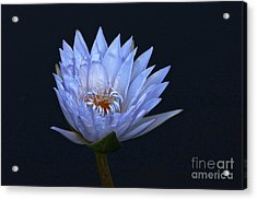 Water Lily Shades Of Blue And Lavender Acrylic Print