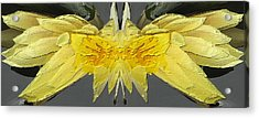 Water Lily Unleashed 4 Acrylic Print by Tim Allen