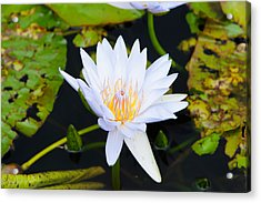 Water Lily With Lily Pads In A Pond Acrylic Print by Panoramic Images