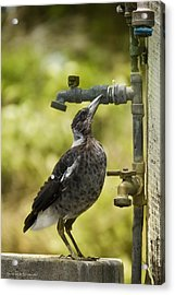 Water Please 01 Acrylic Print by Kevin Chippindall