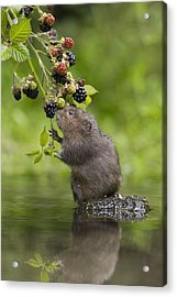 Acrylic Print featuring the photograph Water Vole Eating Blackberries Kent Uk by Penny Dixie