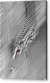 Waterbuck Acrylic Print