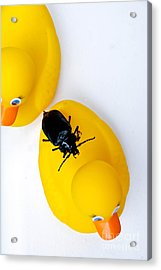 Waterbug On Rubber Duck - Aerial View Acrylic Print by Amy Cicconi