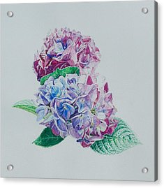 Watercolored Hydrangea Acrylic Print