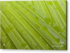 Waterdrops On A Leaf Acrylic Print by Jonathan Welch