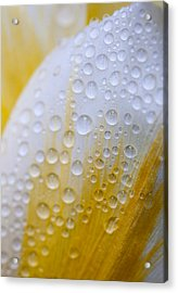 Waterdrops On Tulip Acrylic Print