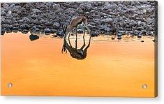 Waterhole Sunset - Springbok Antelope Photograph Acrylic Print by Duane Miller