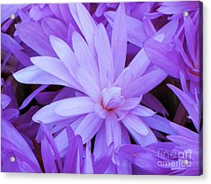 Waterlily Crocus Acrylic Print