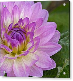 Waterlily Dahlia Acrylic Print