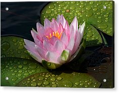 Watery Lily Acrylic Print