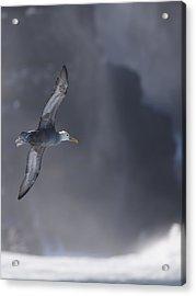Waved Albatross In Flight Acrylic Print by Richard Berry