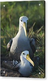 Waved Albatross Mate In Galapagos Acrylic Print by Richard Berry
