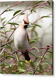 Waxwing Acrylic Print by Grant Glendinning