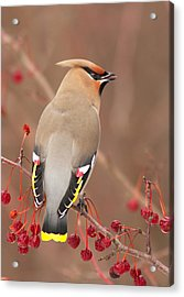 Waxwing In Winter Acrylic Print