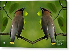 Waxwing Love Acrylic Print by Inspired Nature Photography Fine Art Photography