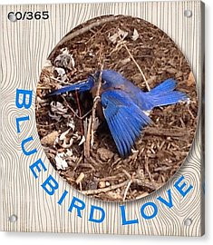 We Love Our #bluebirds And Today When I Acrylic Print