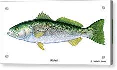 Weakfish Acrylic Print