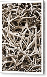 Weathered Elk Antlers Acrylic Print