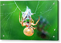 Weaving Orb Spider Acrylic Print by Candice Trimble